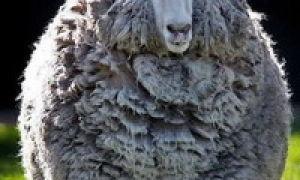 Анекдоты про овец