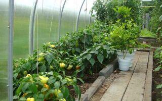 Идея бизнеса: выращивание болгарского сладкого перца