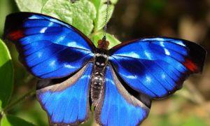 Одна из красивейших в мире бабочек траурница