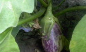 Баклажан сорта Матросик: как выращивать? Достоинства и недостатки сорта