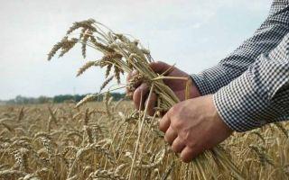 Особенности посева, ухода и выращивания пшеницы