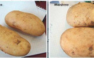 Кипрский картофель в приморье