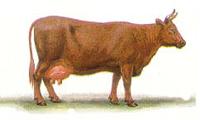 Красная степная порода коров фото