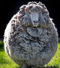 овца анекдот