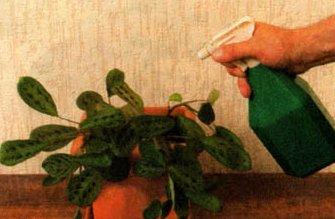 опрыскивать комнатные растения