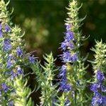 Лекарственные растения на садовом участке