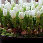 Выгонка луковичных цветов