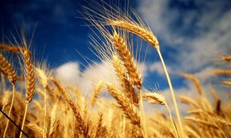Картинки озимая пшеница