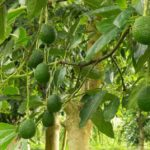 Как вырастить авокадо в саду?