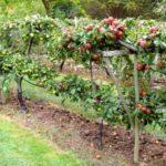 Посадка и разбивка яблоневого сада на приусадебном участке